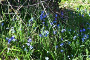 blueflowers-closer